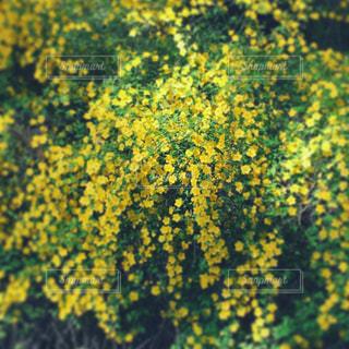 癒される黄色い花景色の写真・画像素材[1127444]