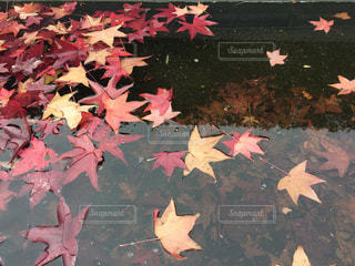 落葉の写真・画像素材[1100075]
