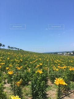 フィールド内の黄色の花の写真・画像素材[1100119]