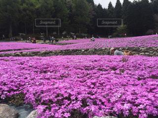 フィールドの紫花の束の写真・画像素材[1100124]