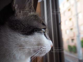 窓の前に座っている灰色と白猫の写真・画像素材[1100151]