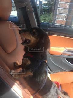 車の窓の助手席に座っている犬の写真・画像素材[1117254]