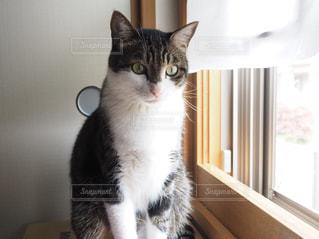窓の前に座っている猫の写真・画像素材[1126840]