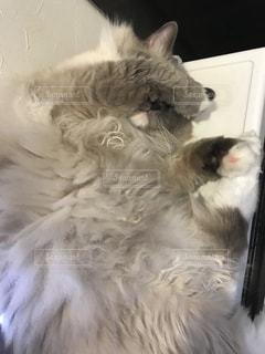 白い面の上に横たわる猫の写真・画像素材[1306043]