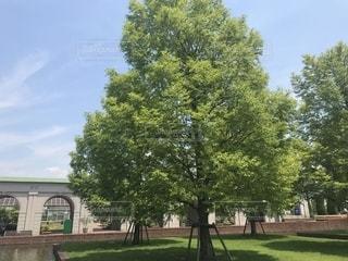 公園の大きな木の写真・画像素材[1308456]