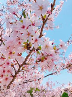 晴天の桜の写真・画像素材[1098515]