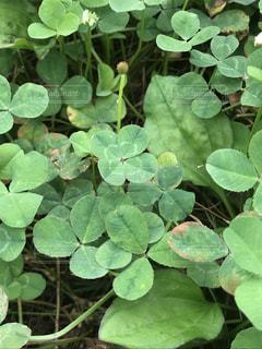葉っぱの形が綺麗な四つ葉のクローバーの写真・画像素材[1254729]