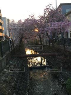 川沿いの桜の写真・画像素材[1098633]