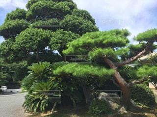 立派な松の木!!の写真・画像素材[1116128]