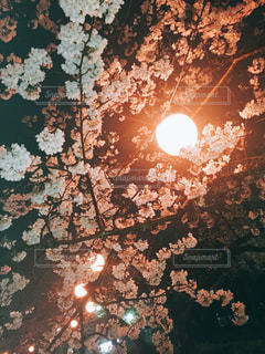 赤い桜の写真・画像素材[1116430]