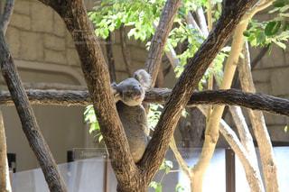 東山動物園のコアラの写真・画像素材[1098986]