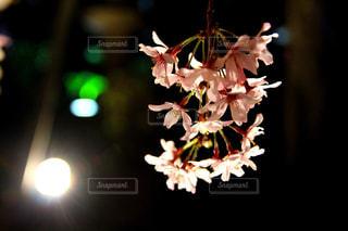 枝垂れ桜の写真・画像素材[1099030]