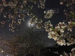 桜の写真・画像素材[1102233]