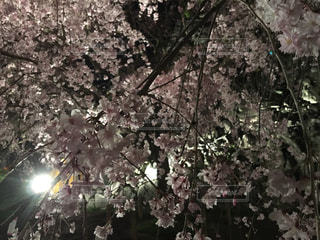 桜の写真・画像素材[1102238]
