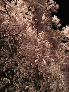 桜の写真・画像素材[1102239]