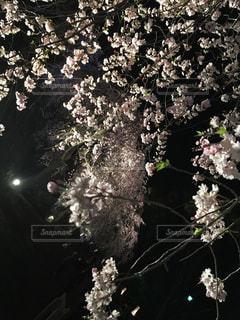 桜の写真・画像素材[1102240]