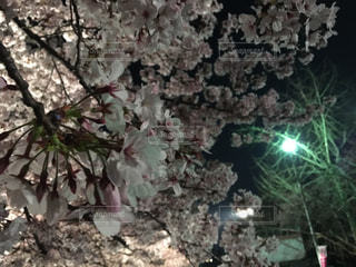 桜の写真・画像素材[1102242]