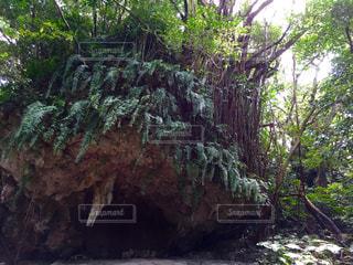 森の大きな木の写真・画像素材[1099293]