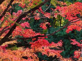 木の赤い花の写真・画像素材[1099294]
