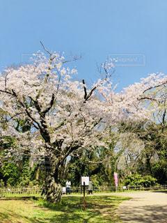 フィールドの大木の写真・画像素材[1099136]