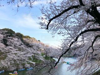 千鳥ヶ淵の桜の写真・画像素材[1099244]