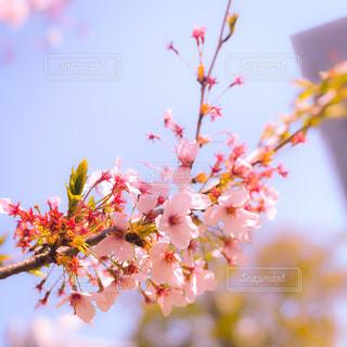 春のサクラのアップの写真・画像素材[1099277]