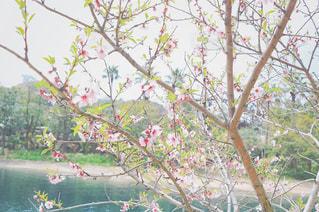 アーモンドの花の写真・画像素材[1099720]