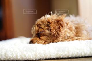 寝ているトイプードルの写真・画像素材[1100884]