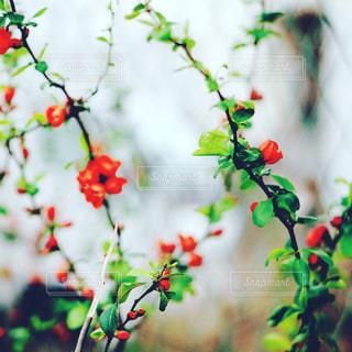近くの木からぶら下がっている赤い花の写真・画像素材[1101375]