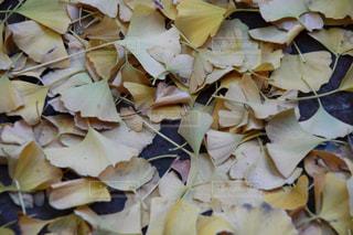 イチョウがいっぱいの写真・画像素材[1199975]
