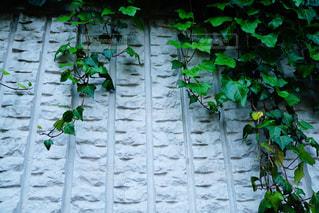 壁に蔦の写真・画像素材[1199982]