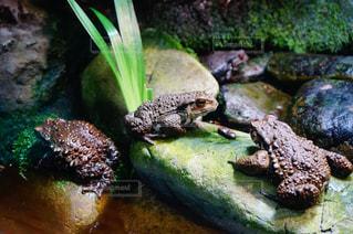 座っているカエルの写真・画像素材[1205244]
