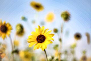 ひまわり畑の写真・画像素材[1206331]