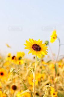 ひまわり畑の写真・画像素材[1209202]