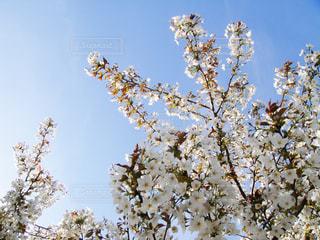 桜満開の写真・画像素材[1212952]