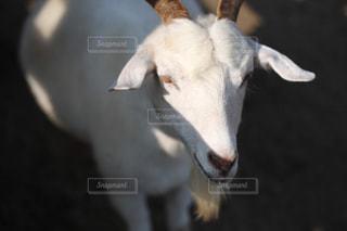 ヤギの写真・画像素材[1212983]