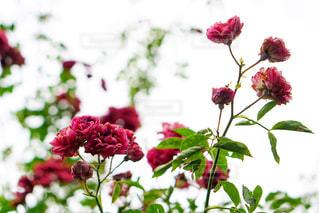 空に向かって咲く花の写真・画像素材[1213859]