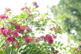 咲き乱れるバラの写真・画像素材[1213863]