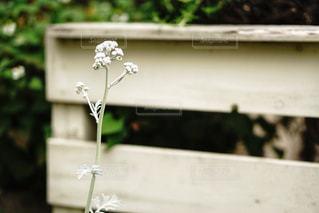 白い花の写真・画像素材[1214548]