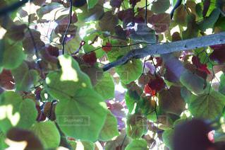 カラフルな葉っぱの写真・画像素材[1223721]