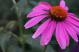 濃いピンクの花の写真・画像素材[1223893]