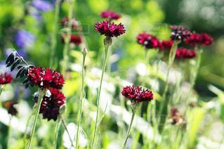 赤い花たくさんの写真・画像素材[1223906]