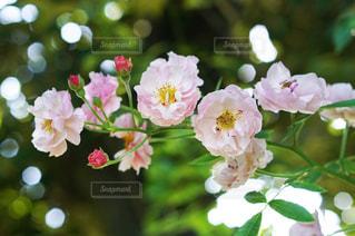 淡いバラの花の写真・画像素材[1223984]