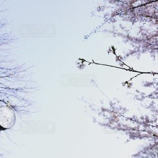 桜の写真・画像素材[2014387]