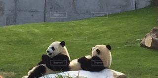 フィールドで座っているパンダの写真・画像素材[1101529]