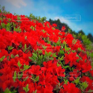 赤い花の写真・画像素材[1120679]