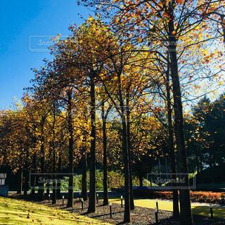 並木道を散歩の写真・画像素材[1101842]