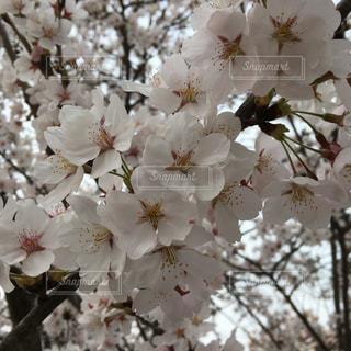 桜満開の写真・画像素材[1101844]