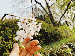 桜の写真・画像素材[1102012]