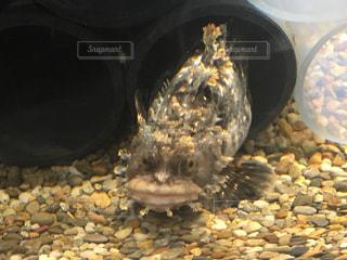 変な顔の魚の写真・画像素材[1102286]